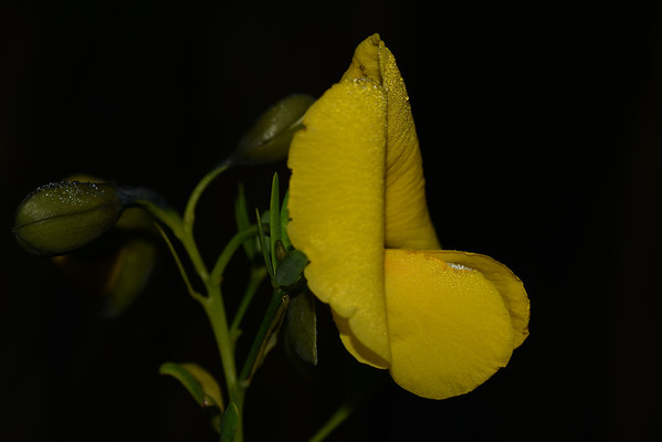"""Gompholobium latifolium"", the Giant Wedge Pea"