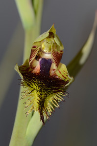 Bearded Orchid