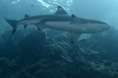 Neighbourhood watch, Black-tipped Reef Shark.