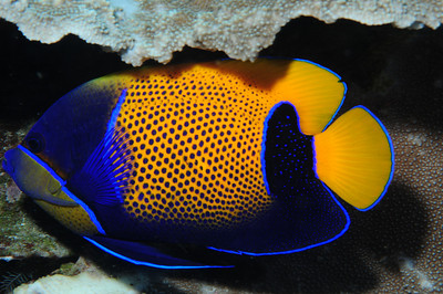 Blue-girdled Angelfish, adult.