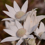 "Flannel Flower.  ""Actinotus helianthi"".  This is the floral emblem for New South Wales.  A flower which is widespread to the area, more profuse in spring, but in pockets can be seen year rou ..."