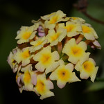 """Lantana camara"", or Lantana.  A well known weed of coastal areas.  This image from my early career as a bush walker in the area as I enjoyed the vivacious flowers.  See next image, as the f ..."